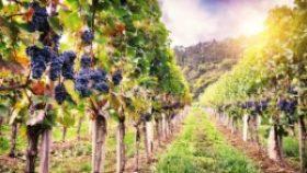 Tajomstvo vinice